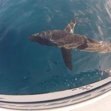 Huge mako shark boatside