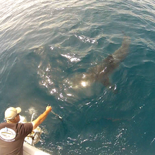 Getting some gopro video of a big mako shark