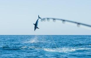 Trophy Shark Fishing Charters.