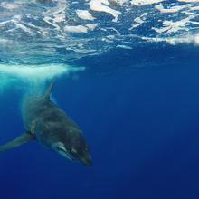 under water shot of a 500lb mako shark