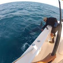 600lb mako shark release