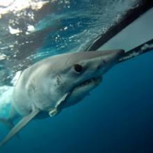 600 pound mako shark under water