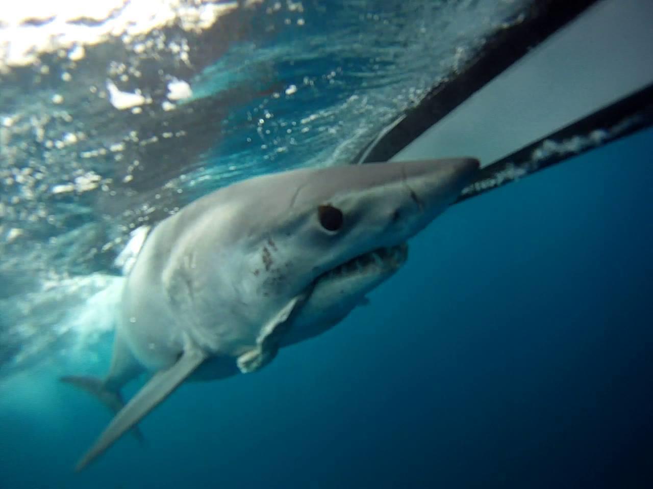 Shark fishing images world class shark fishing 600 pound mako shark under water thecheapjerseys Image collections