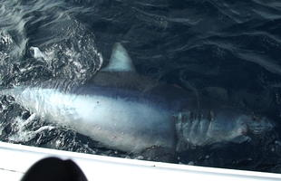The best shark fishing for big sharks.