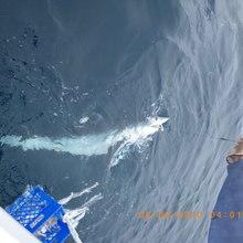 leadered mako shark