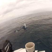 mako shark arrives at boat