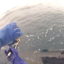 releasing a big mako shark