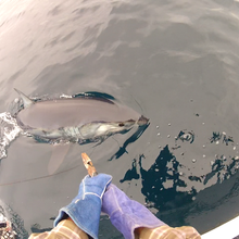 mako shark being released